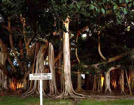 shot of banyan tree at edison's house