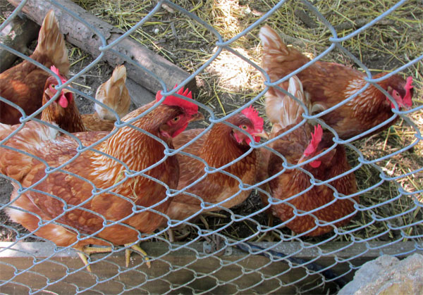 kevin kelly's hens at his backyard 'egg tango' coop on september 27, 2014