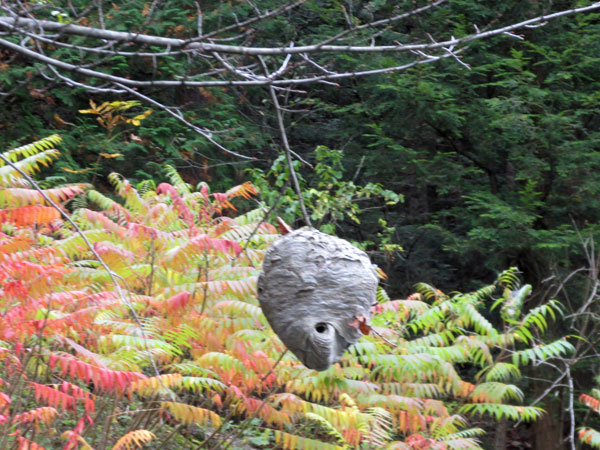 giant wasp nest on the shore of the otter river in middlebury, vt on october 11, 2014