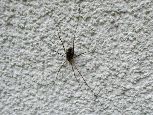 daddy longlegs spider outside hostel in vienna, austria on october 22, 2016