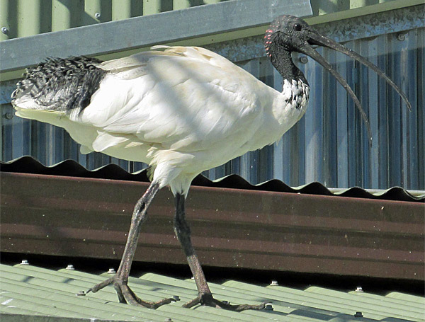 an ibis near the sydney fish market